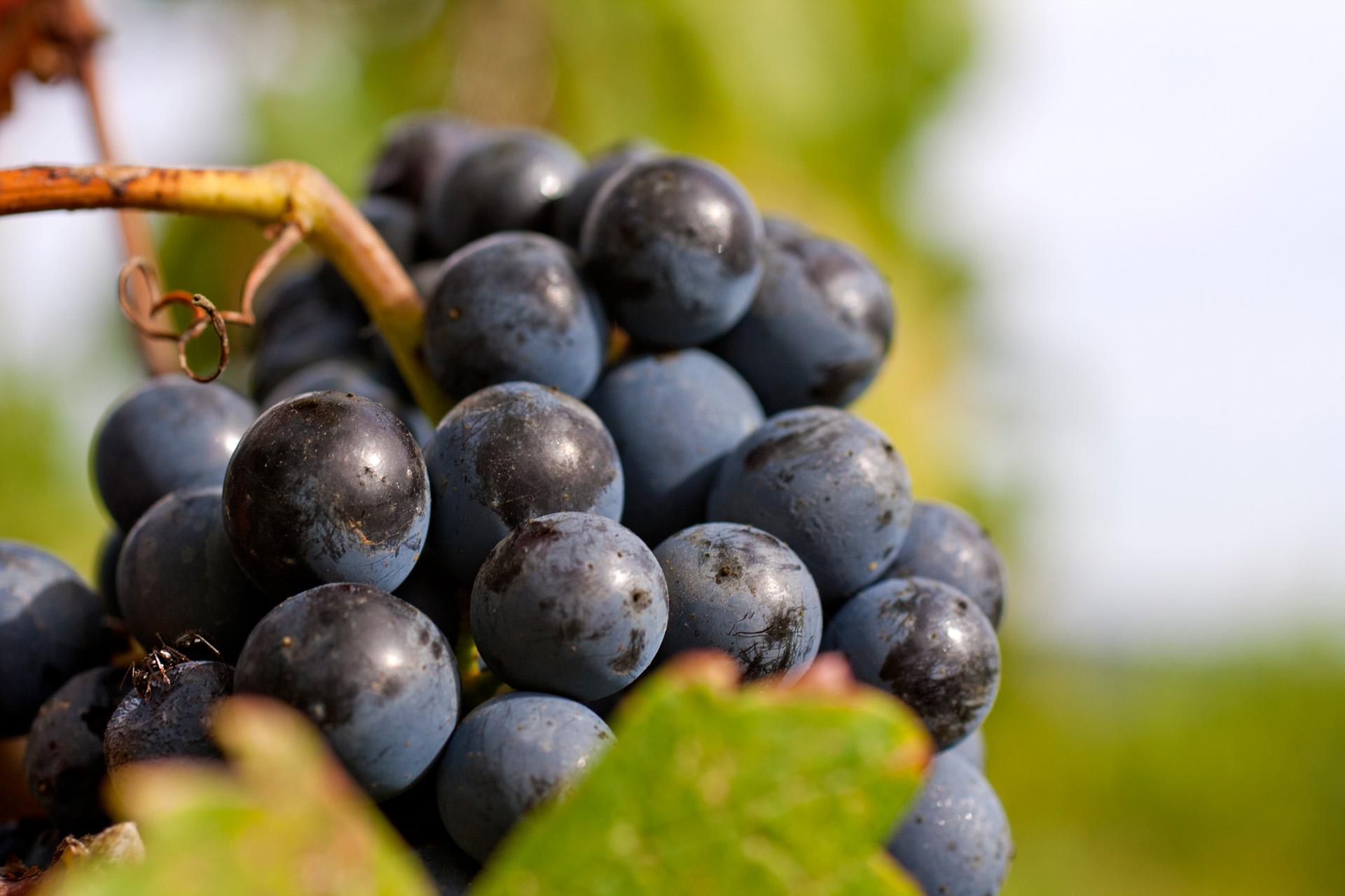 PETIT VERDOT uvas del vino